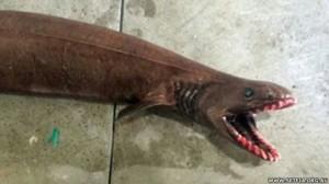 150122120915_frill-shark-setfia_624